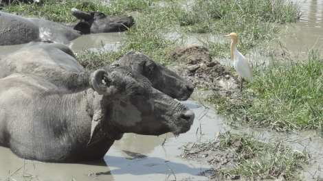 0 cows in mud Back from Bhuj 5 16 (101)